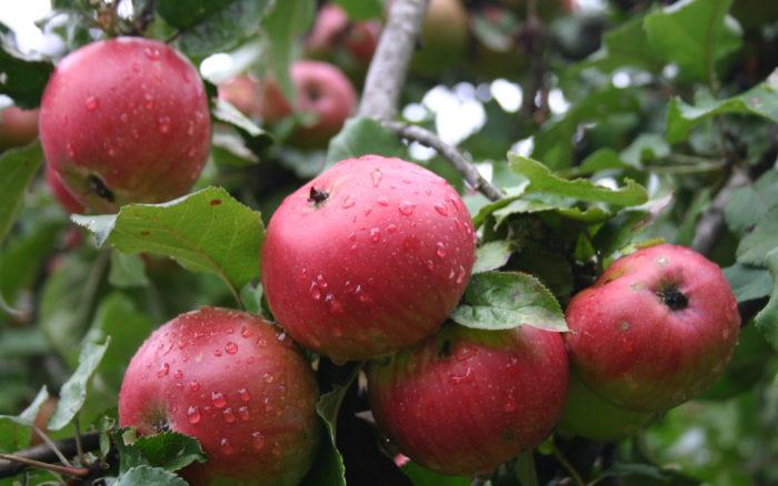 Rencontre avec les Croqueurs de Pommes